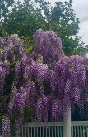 Purple Reign by CynthiaBrian
