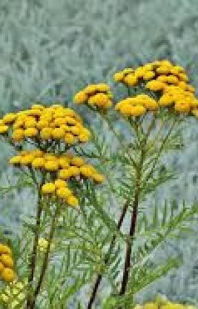Latest update on Global Immortelle Extract Market Industry by Jemfernandez57