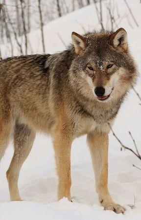 A Werewolf Romance Story (Satire) by EpicDallas2000