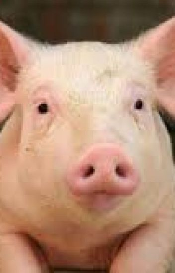 Piece opinion domination piggy pig piglet share your