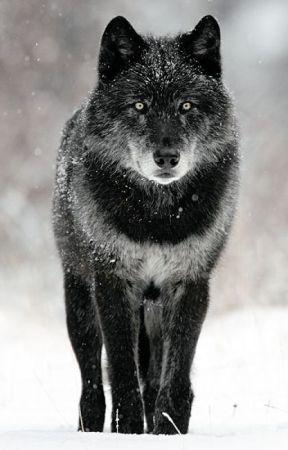 alpha wolf alpha wolf part 2 wattpad