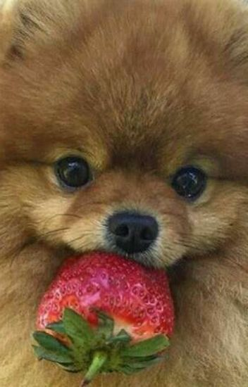 Boo >> Pomeranian Boo Lovepoms Wattpad