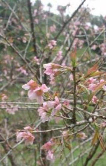 sakura diindonesia