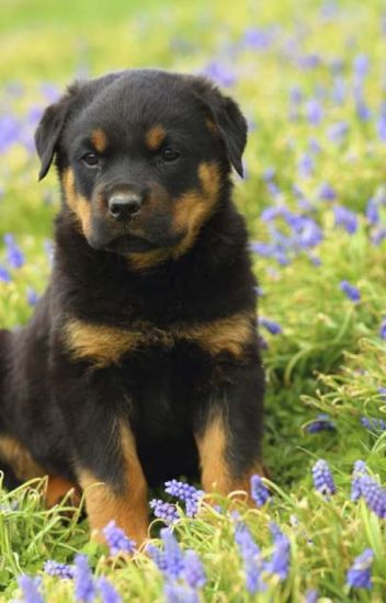 Male Rottweiler Puppies For Sale King Rottweilers Llc Wattpad