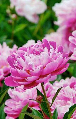 Đọc truyện Ý nghĩa của các loài hoa.