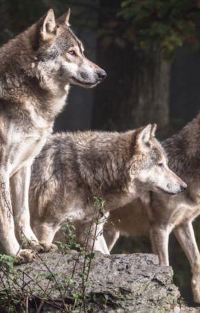 Wolf Ranks - Wattpad