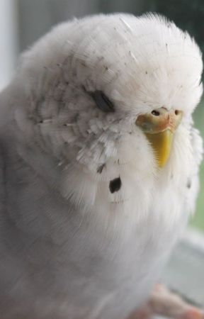 Parakeet Behavior