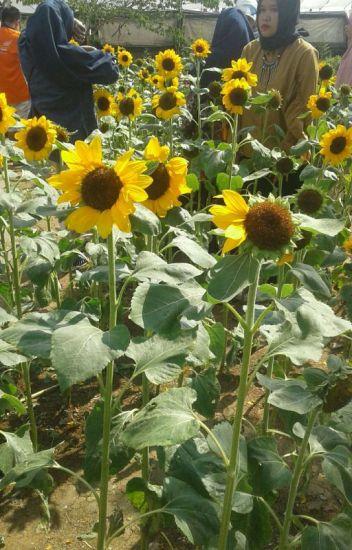 500 Gambar Bunga Matahari Terbagus Di Dunia HD Terbaru