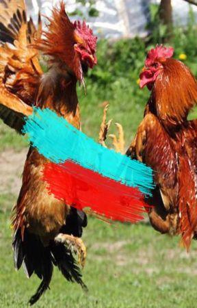 800 Gambar Ayam Aduan Terbaik HD Gratis