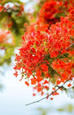 Đọc truyện Tình yêu màu hoa phượng