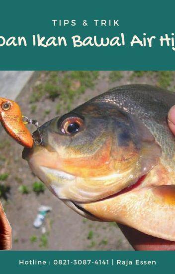 Download 480 Koleksi Gambar Ikan Bawal HD Gratis
