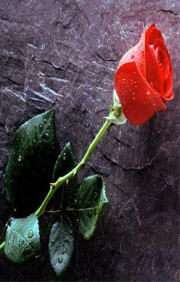 Red Rose Thorns