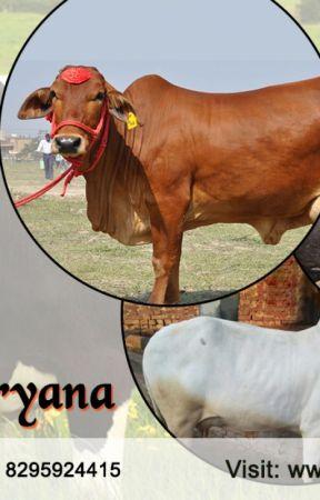 Mahalakshmi Dairy Farm - Sahiwal Cows in Haryana - Wattpad