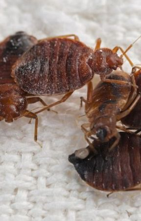 BED BUG EXTERMINATION IN RICHMOND VA by pestcontrol07