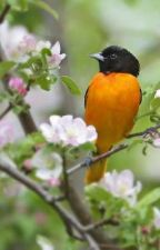 Little Oriole among Blossom by the_blood_of_rose