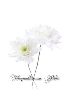 Chrysanthemums Pulse [Chanbaek] by BHeeseCakeY