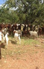 South African Boer goats suppliers by firstchoicefarmers
