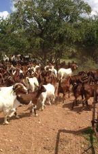 Buy Boer and Kalahari goats online by firstchoicefarmers