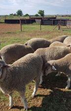 Buy dorper and Merino lambs online by firstchoicefarmers