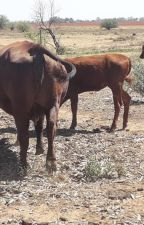 cattle and calves for sale by firstchoicefarmers