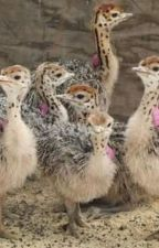Where to order Ostrich chicks and eggs by firstchoicefarmers