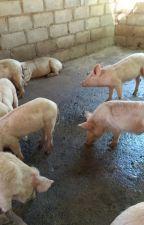 Order gilt pigs online by firstchoicefarmers