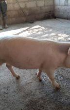 Buy gilt pigs online by firstchoicefarmers