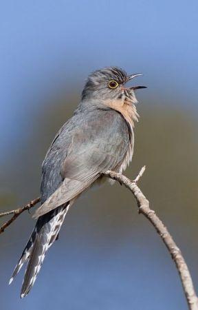 BIRDSONG by RosyCarmelina