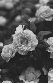 Rosses and Violets (poem) by LexaT909