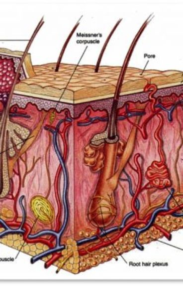 Anatomy integumentary system