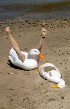Ducks. by TrinTehDerp