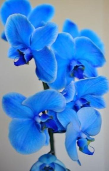 Голубая орхидея снежного барса