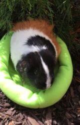 Warrior Guinea Pigs: Scarlett Tidings by chestnutia