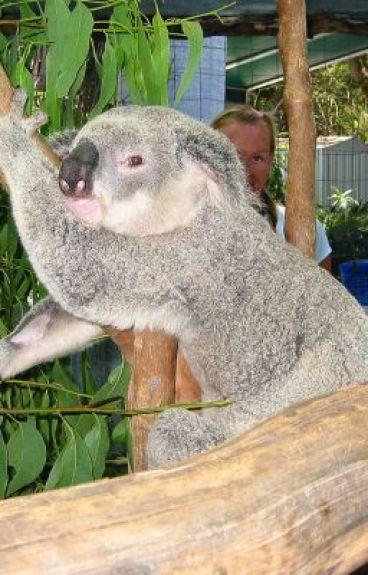 Australian animal acrostic poems 6 parts 6 koala - Koala components ...