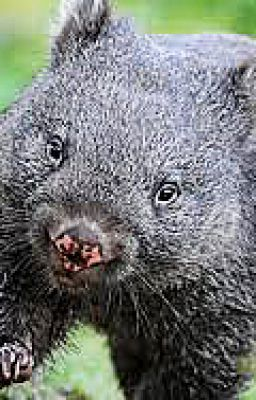 wombat poem Wombat by ogden nash the wombat lives across the seas, among the far antipodes he may exist on nuts and berries, or then again, on missionaries.