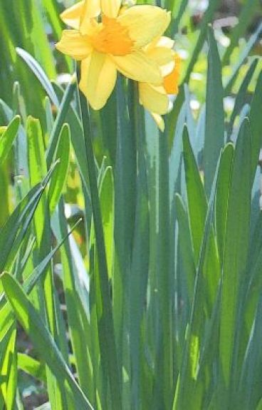 Chaucerian roundel poem - Daffodil debut by LizaMJones