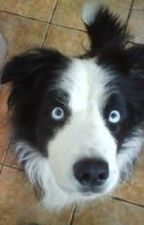 The blue eyed Border Collie by D0n4ca43