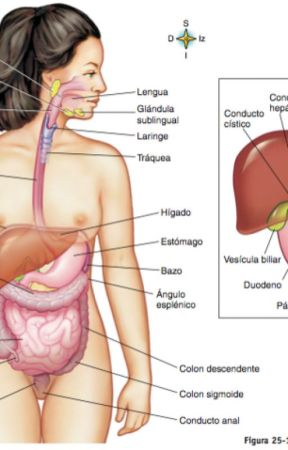 sistema digestivo - estructura del sistema digestivo - Wattpad