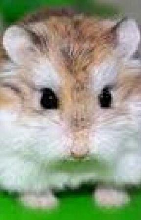 Roborovski Hamster - taming tips - Wattpad