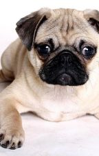 Pugs Galore: The Sequel by Mwriter392