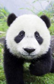 panda by oavatos12