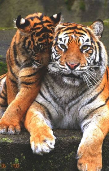 Enjaulando al tigre (l.s) Adaptada.