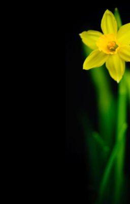 [ Oneshot ] [ WooGyu ] Daffodil