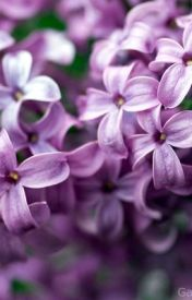 Lilacs by Eliatic