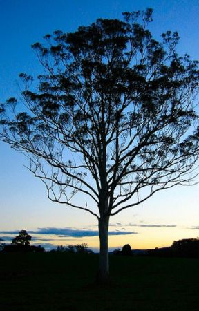 Life of a Gum Tree by victoura56