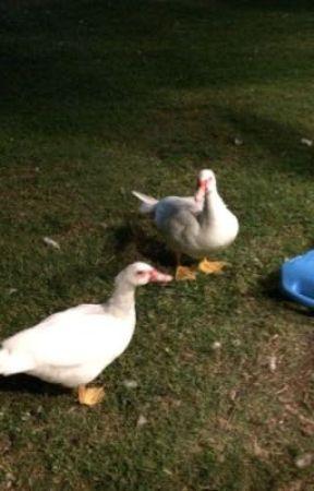 Ducks  by 8QueenofWonderland8