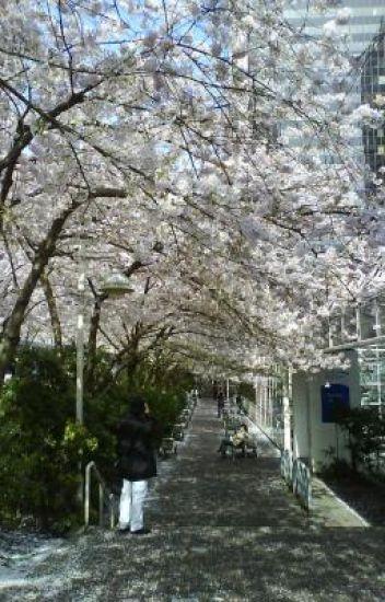 Di Bawah Pohon Sakura
