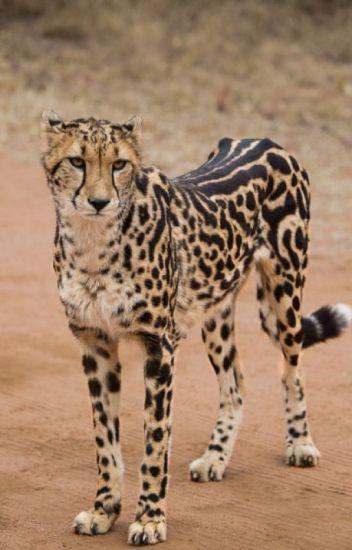 Cheetah and Wolf