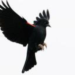 Blackbird65