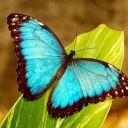 Blue-butterfly001